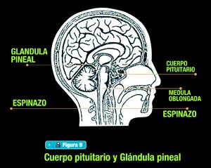 cuerpopituitariog.jpg